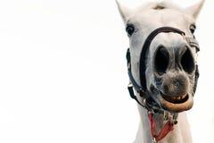 Fond blanc d'isolement par portrait drôle de cheval Images stock