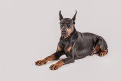 Fond blanc d'isolement par séance de chien noir Photographie stock