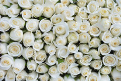 Fond blanc de roses photo stock