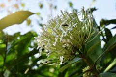 Fond blanc de tache floue de fleur de transitoire Photographie stock
