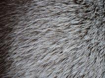 Fond blanc de texture de cheveux de cerfs communs de Brown Images stock