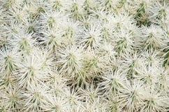 Fond blanc de texture de buisson d'épines d'épines de cactus Images libres de droits