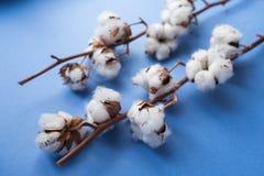 Fond bleu avec la branche de l'usine de coton Photo stock
