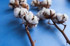 Fond bleu avec la branche de l'usine de coton Image stock