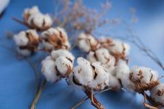 Fond bleu avec la branche de l'usine de coton Image libre de droits