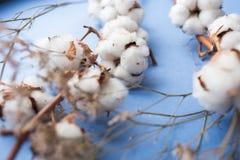 Fond bleu avec la branche de l'usine de coton Images libres de droits