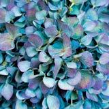 Fond bleu d'hortensia Photo libre de droits