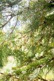 Fond Blure des aiguilles de pin avec des gouttelettes d'eau au soleil Image libre de droits