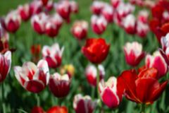 Fond brouillé abstrait des fleurs rouges et de l'herbe verte Defocus des tulipes colorées images libres de droits