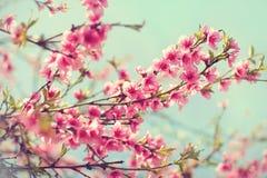 Fond brouillé Arbre de floraison au printemps avec les fleurs roses Photographie stock libre de droits