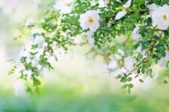 Fond brouillé avec la branche des roses de floraison Photos stock