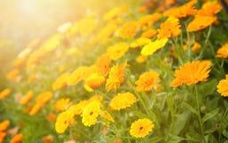 Fond brouillé d'été avec le calendula de fleurs Image libre de droits