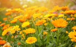 Fond brouillé d'été avec le calendula de fleurs Photos libres de droits