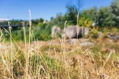 Fond brouillé d'herbe sèche Image libre de droits