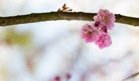 Fond brouillé encadrant avec une branche avec les fleurs roses du cerisier japonais Photographie stock libre de droits