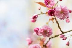 Fond brouillé encadrant avec une branche avec les fleurs roses du cerisier japonais Photos stock