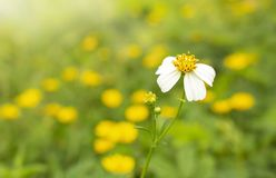 Fond brouillé fou de fleur blanche de plan rapproché photographie stock libre de droits