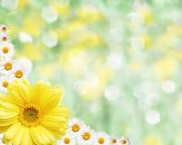 Fond brouillé par frontière florale, camomille de fleurs Photos libres de droits