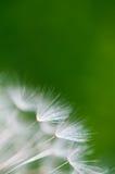 Fond brouillé par vert avec des graines de pissenlit Image stock