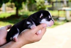 Fond brouillé par vert de chiot de chien de traîneau sibérien en main Photographie stock libre de droits