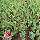 Fond carré avec les pétales tombés des tulipes sur un parterre photo stock