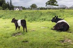 Fond ceinturé de ferme de maman et de veau de Galloway Photos libres de droits