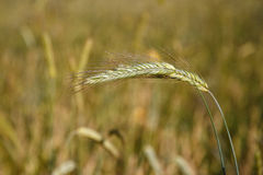 Fond : Champ de blé vert Images stock
