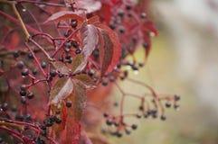 Fond coloré d'automne avec des feuilles de Virginie-plante grimpante et des baies bleues dans le jour pluvieux Photos stock
