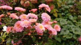 Fond coloré de chrysanthèmes de rose d'automne banque de vidéos