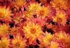 Fond coloré de fleur de beauté Photo libre de droits