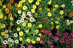 Fond coloré de fleur de zinnia Photographie stock