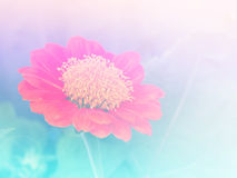 Fond coloré de fleur trouble abstraite de zinnia image libre de droits