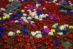 Fond coloré de pensée de fleur Images stock