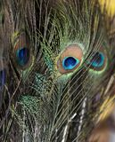 Fond coloré de plume de paon - fond abstrait Photographie stock libre de droits