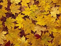 Fond coloré des feuilles d'automne jaunes Images libres de droits
