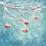 Fond couvert de neige de branche de baie de sorbe d'hiver Photos libres de droits