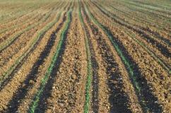 Fond croissant de champ de maïs vert (mais de Zea) Photos stock