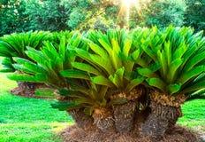 Fond d'éclat du soleil de groupe de groupe de palmiers de sagou images stock