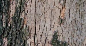 Fond d'écorce d'arbre Photo libre de droits