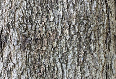Fond d'écorce d'arbre Image libre de droits