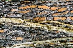 Fond d'écorce d'arbre Photos libres de droits