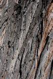 Fond d'écorce d'arbre de saule Photo stock