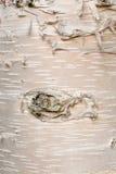 Fond d'écorce de neoalaskana de bétula de bouleau de papier Photos stock
