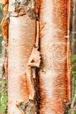 Fond d'écorce de neoalaskana de bétula de bouleau de papier Photographie stock libre de droits