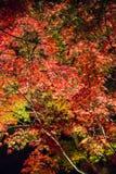 Fond d'érable de feuille la nuit Image stock