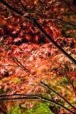 Fond d'érable de feuille la nuit Photographie stock libre de droits