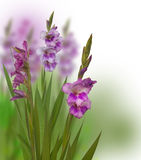 Fond d'été avec des gladioli image libre de droits