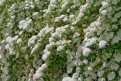 Fond d'été de beaucoup petit de fleurs blanches Photographie stock