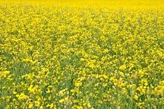 Fond d'été. Pré jaune de floraison. Photographie stock