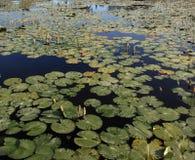 Fond d'étang de feuille de Lotus Photo stock